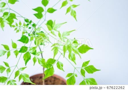 明るい綺麗な観葉植物(ステレオスペルマム) 67622262