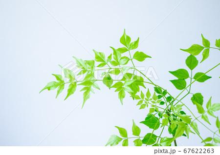 明るい綺麗な観葉植物(ステレオスペルマム) 67622263