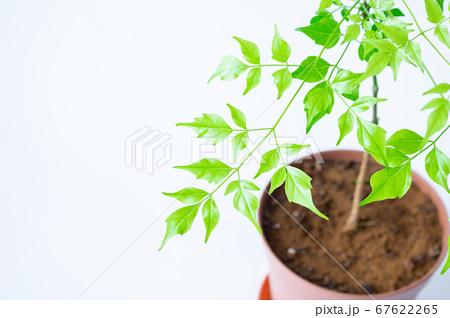 明るい綺麗な観葉植物(ステレオスペルマム) 67622265
