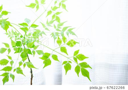 明るい綺麗な観葉植物(ステレオスペルマム) 67622266