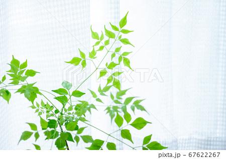 明るい綺麗な観葉植物(ステレオスペルマム) 67622267
