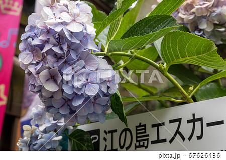 江ノ島神社のエスカーと梅雨の時期の紫陽花 67626436