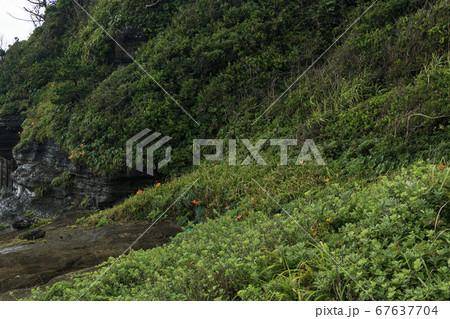 ユリ科 ワスレグサ属ハマカンゾウ咲く三浦半島(三戸浜) 67637704