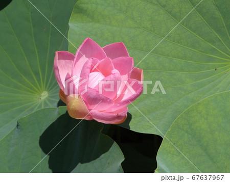 満開になった千葉公園のオオガハスの桃色の花 67637967