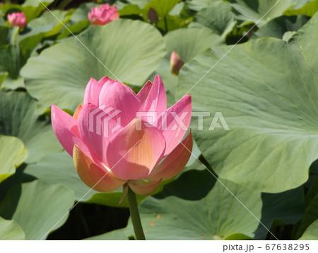 開き始めた千葉公園のオオガハスの桃色の花 67638295