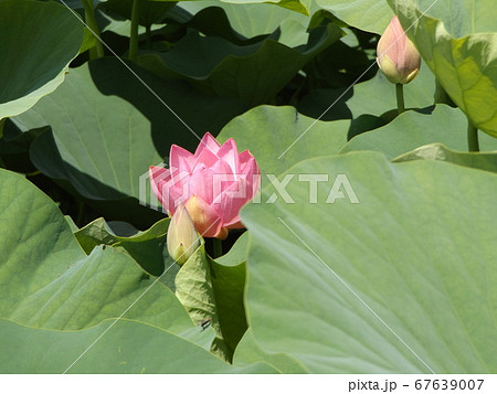 咲き始めた千葉公園のオオガハスの桃色の花 67639007