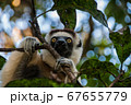 A white lemur sifaka among the branches of a tree 67655779