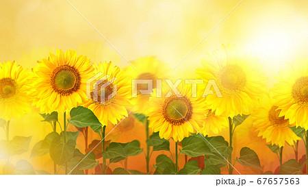 向日葵のイメージ的な背景 67657563
