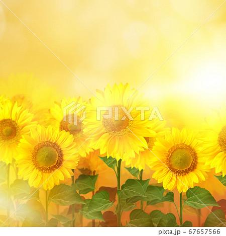 向日葵のイメージ的な背景 67657566