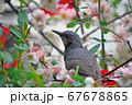 鳥と花 67678865