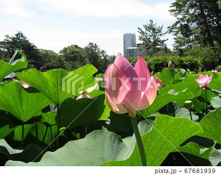 咲き始めた千葉公園のオオガハスの桃色の花 67681939