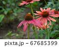 花にとまるミツバチ 67685399