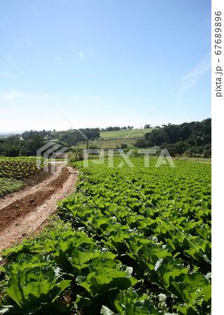 サンパウロ近郊で栽培されているキャベツ ブラジル 67689896