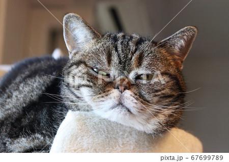 退屈な表情でカメラ目線のアメリカンショートヘアブラウンタビーの猫 67699789