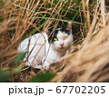 草むらに潜む猫 67702205