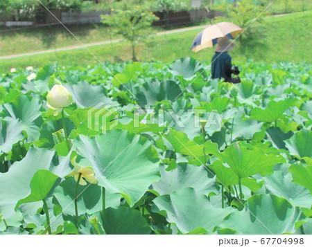 津市白山町二俣 蓮の棚田を散歩する日傘の女性 67704998