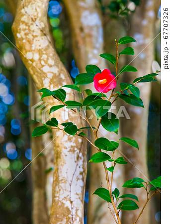 椿一輪と幹の林立 萩市笠山の椿公園 67707326
