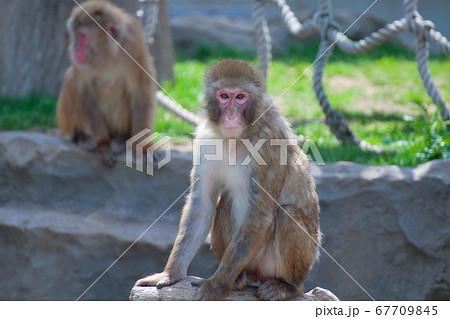 動物園のサル山からこちらを見つめるサル 67709845