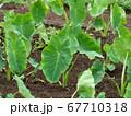 サトイモ畑 67710318