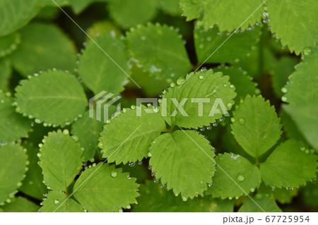 葉っぱについた水滴、キラキライメージ 67725954