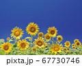 ひまわり畑のひまわりと青空 67730746