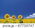 ひまわり畑のひまわりと青空 67730747