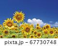ひまわり畑のひまわりと青空 67730748