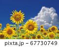 ひまわり畑のひまわりと入道雲 67730749