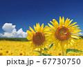 ひまわり畑のひまわりと入道雲 67730750