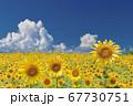 ひまわり畑のひまわりと入道雲 67730751