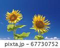 ひまわりの花と青空 67730752