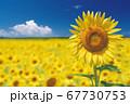 ひまわり畑のひまわりと青空 67730753