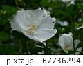木槿(むくげ) 67736294