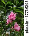 木槿(むくげ) 67736298