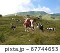 昼食中のイタリアの牛 67744653