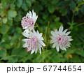 イタリアに咲くアストランティア・マヨール 67744654