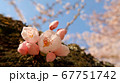 幹で咲く桜の花(青空バック) 67751742
