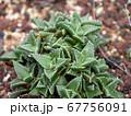 多肉植物 アラナミ 67756091