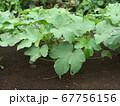 オクラ畑 67756156