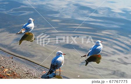 手賀沼公園(千葉県我孫子市)の水鳥たちの風景 67767775