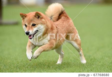 ドッグランで遊ぶ柴犬 67768680