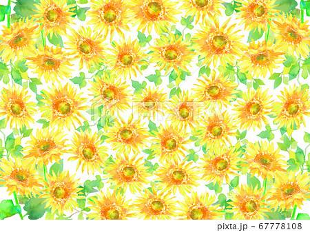 水彩で描いたひまわり畑のイラスト  67778108