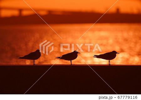 夕陽に照らされてきらめく海を背景にお行儀よく整列したカモメ 67779116