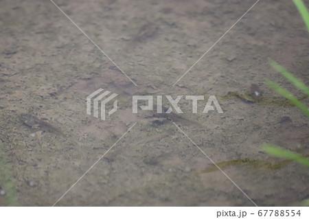 田んぼの足が生えてきたオタマジャクシ 67788554