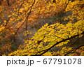 色鮮やかに色づく紅葉 67791078