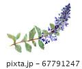 水彩で描いた野草紫の花ジュウニヒトエのイラスト素材 67791247