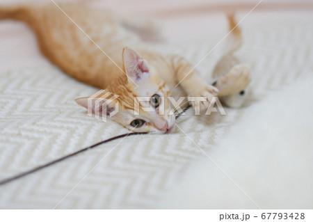 オモチャの紐が気になる茶トラの可愛い子猫 67793428