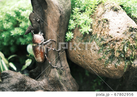 夏を過ごす赤褐色の立派なカブトムシ 67802956