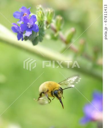 アルカネットの間を飛翔するクマバチ 67811413