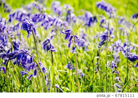 紫色のかわいいブルーベルの花 67815111